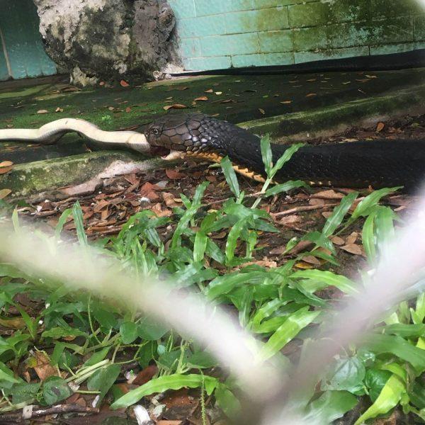 Đối với những loài rắn độc thì được nuôi riêng