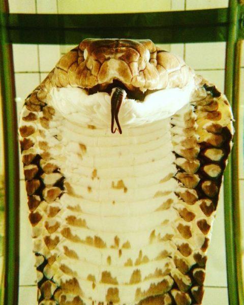 Nhiều tiêu bản rắn quý hiếm được trưng bày tại Trại rắn Đồng Tâm