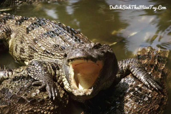 Hoạt động thú vị trong tour du lịch miền tây sông nước - Câu cá sấu