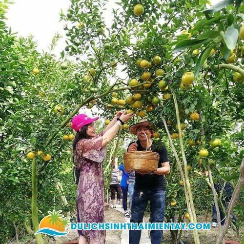 Tour Du Lịch Miền Tây - Vườn quýt hồng Lai Vung Đồng Tháp